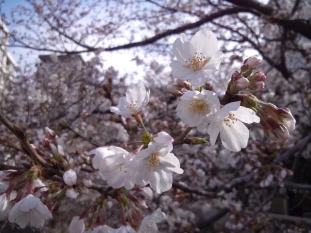 今朝の桜はもう満開