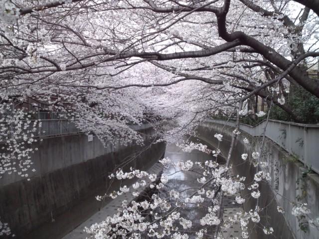 桜たっぷり